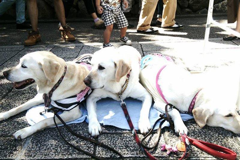 日本導盲犬。(取自關西導盲犬協會臉書)