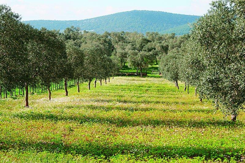 橄欖樹整株樹可被運用得淋漓盡致,卻不需要特別照顧,真可說是上帝送給人類最好的禮物。(圖/皇冠出版提供)