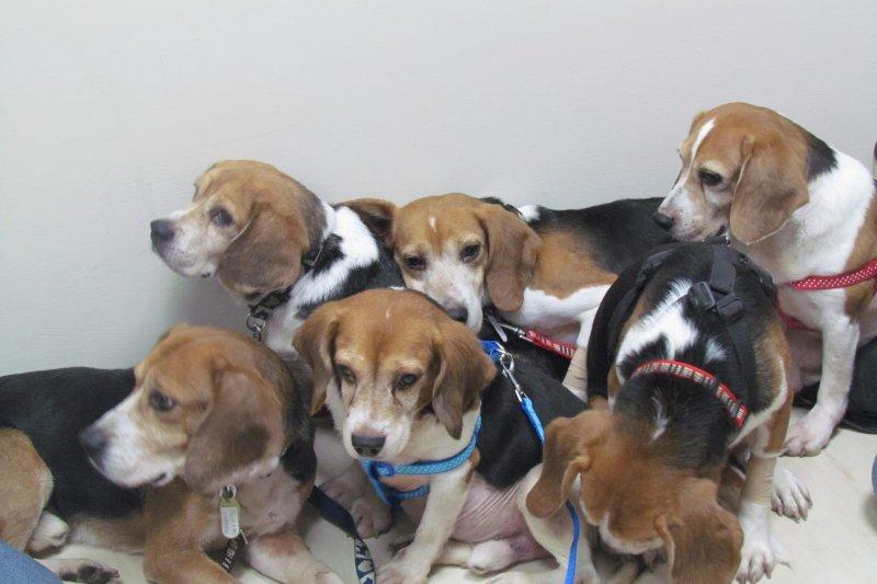 實驗犬為人類犧牲自己健康,退役後的處境令人心疼。圖為米格魯實驗犬,但非本文主角。(取自台灣動物社會研究會臉書)