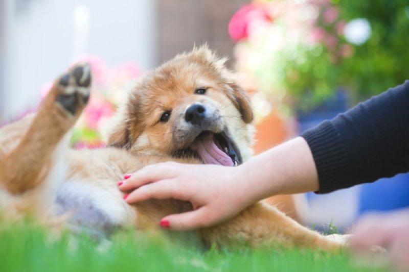 對大部分的狗而言,搔肚子可能是件很開心的事!