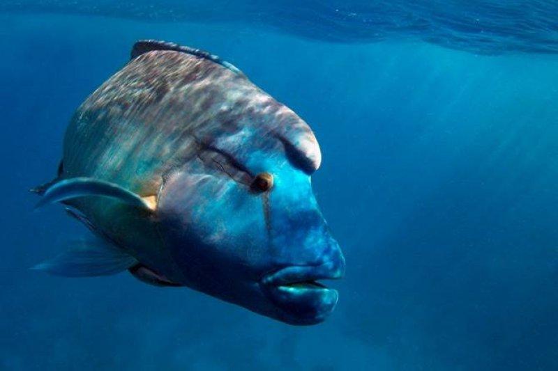 龍王鯛(蘇眉魚)曾是下海隨便能見的魚類,而今,綠島只剩6隻。(取自伊森臉書)