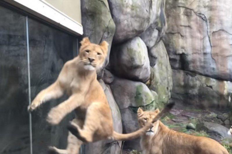 牠們到底怎麼跳的?(圖/Oregon Zoo@youtube)
