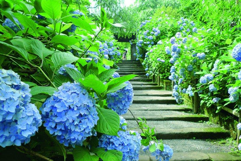 每年六月到八月正是鐮倉繡球花獨領風騷之時。(圖/啟動文化提供)