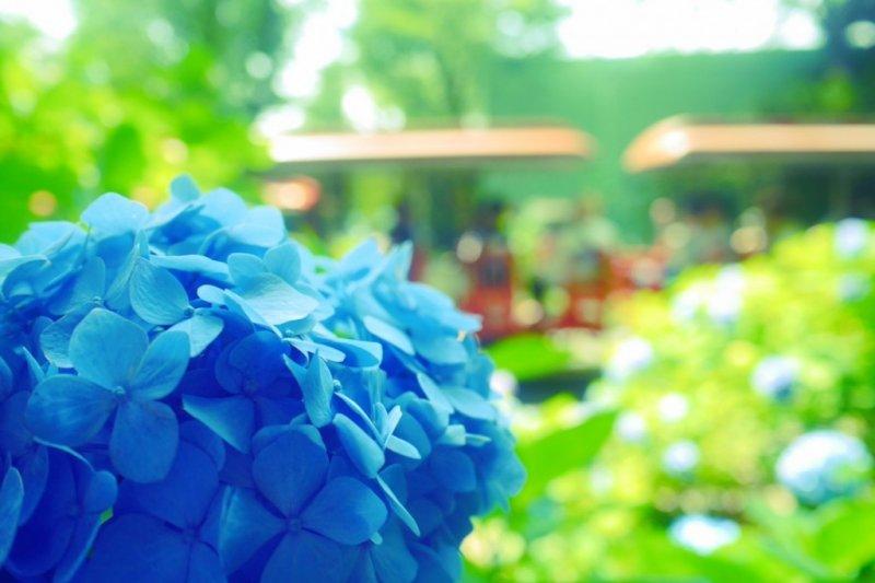 梅雨季節正是賞繡球花的好時機!