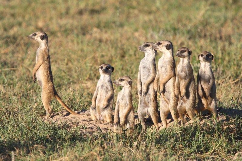 群體行動是狐獴的習性,甚至連看風景都要一起!(圖/時報出版提供)