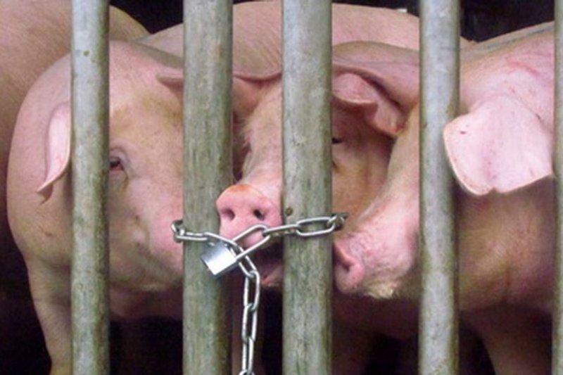 繫留欄中的豬隻啃咬鐵鍊,或許有話想跟人類說吧?(台灣動物社會研究會提供)
