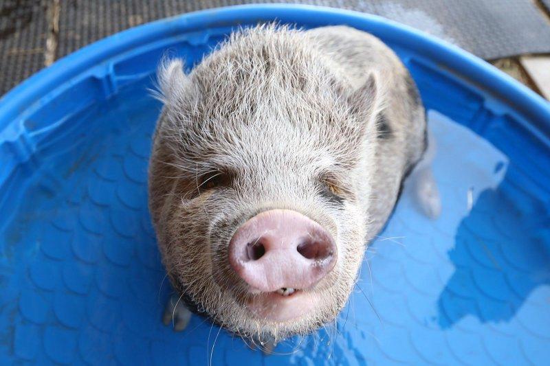 美國一個研究團隊正在進行實驗:將人類的幹細胞注射進入豬的胚胎,在豬體內培養出人類的器官,長成後提供給需要器官移植的病患。(美聯社)