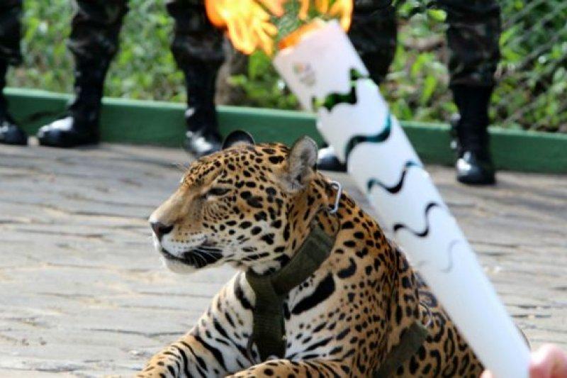 這只美洲豹在聖火於動物園中傳遞時亮相。當時拍下的照片竟然成為牠的「遺照」(BBC中文網)