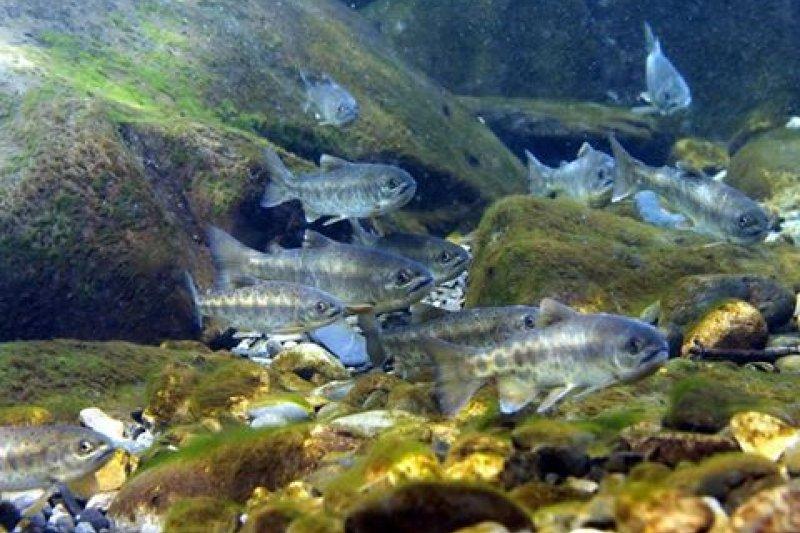 櫻花鉤吻鮭(Discovery)