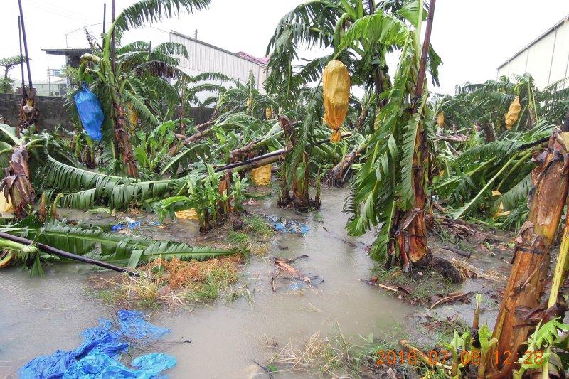 尼伯特颱風來襲,高雄香蕉受災。(高雄市政府提供)