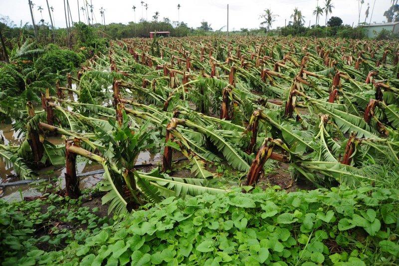 旗山溪洲地區香蕉災損嚴重,高雄市農產受尼伯特颱風重創,造成香蕉、木瓜及番石榴等作物受損嚴重,累積金額達1億300萬元。(高雄市政府提供)