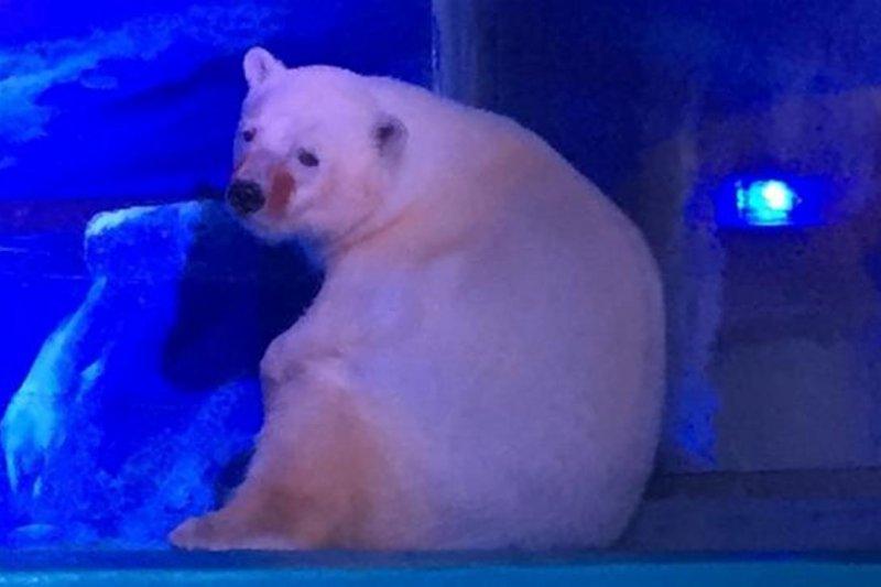 全世界最悲傷的北極熊(取自網路)