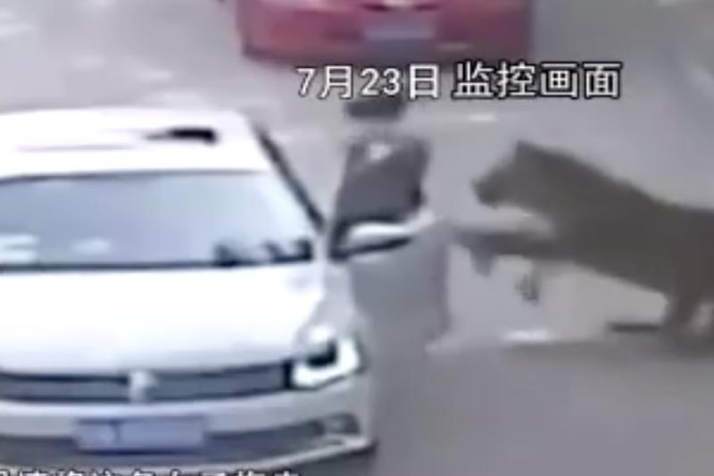 北京八達嶺野生動物園監視器拍下的老虎襲擊遊客畫面。