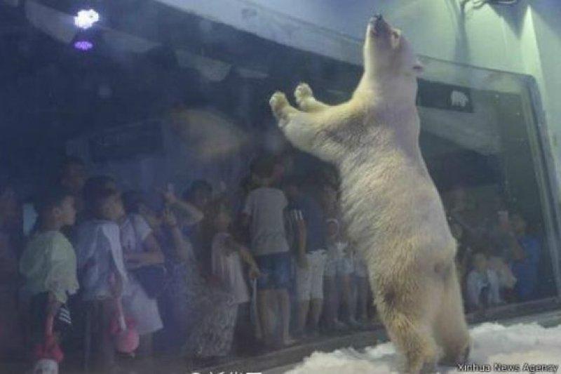 廣州商業娛樂購物中心正佳廣場內設的「海洋世界」的一隻孤獨的北極熊的照片和視頻受到世界各國媒體和網民的關注。(圖/BBC中文網)