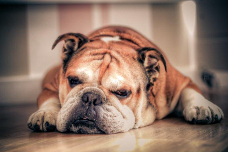 過年期間,北部民眾可選擇動保處評鑑的83家優質寵物旅館,解決返鄉期間照顧需求(Aobranc@Wikipedia / CC BY-SA 3.0)