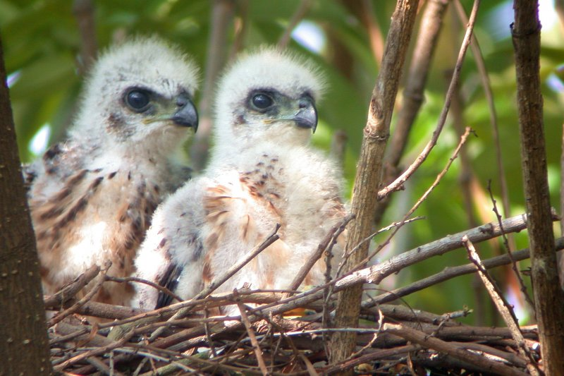 若誘食保育類禽鳥可能造成幼鳥喪失自主覓食能力,民眾帶來的肉塊也有衛生疑慮。(圖片取自高雄都會公園官網)