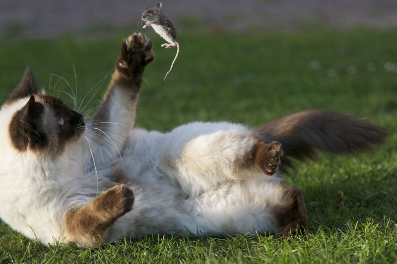 流浪貓問題求解?有人想到撲殺,芝加哥人卻幫這些貓咪找到最理想天職!(圖/wikimedia)