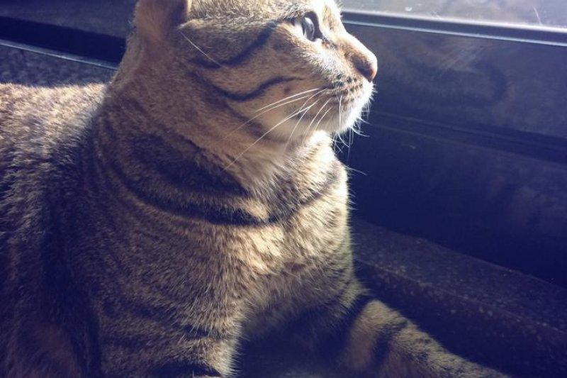 去年年底虐貓案嫌犯再度犯案,擄走並殺害寵物餐廳認養街貓「斑斑」。(取自動物誌粉絲專頁)