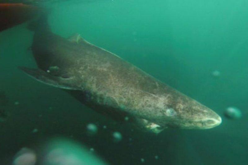 格陵蘭鯊魚生活在冰冷的北極水域(圖/BBC中文網)