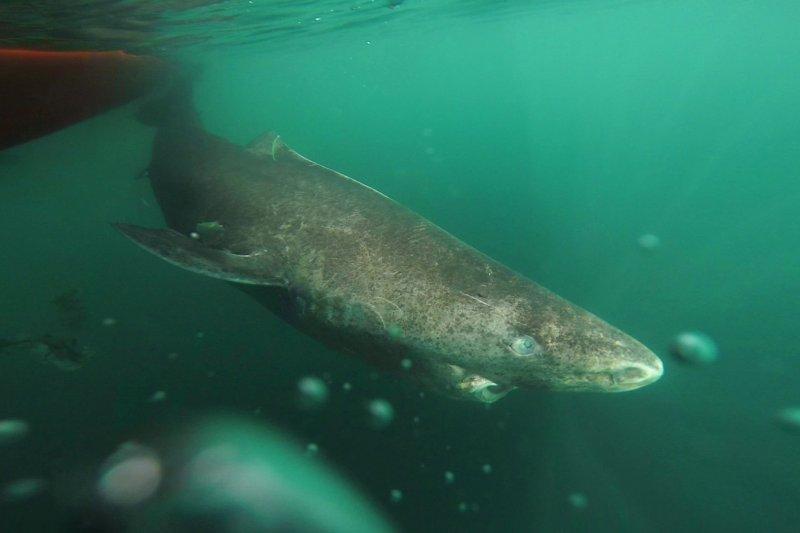 格陵蘭鯊(Greenland shark)(AP)
