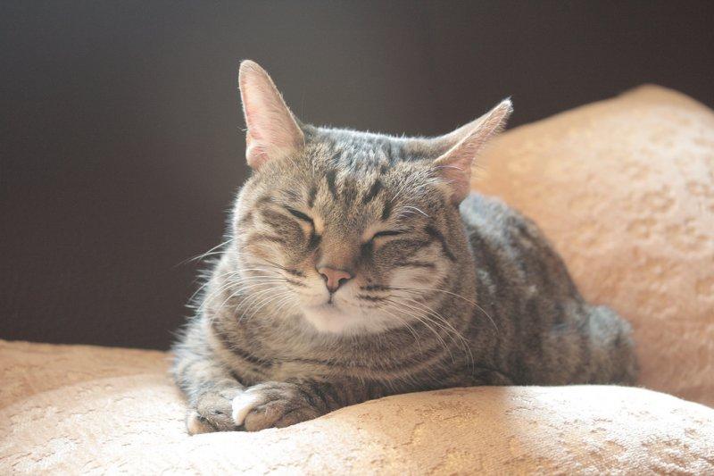 是時候該替家中貓咪減肥了!不過,貓咪減重有訣竅⋯⋯(圖/aboo@flickr)