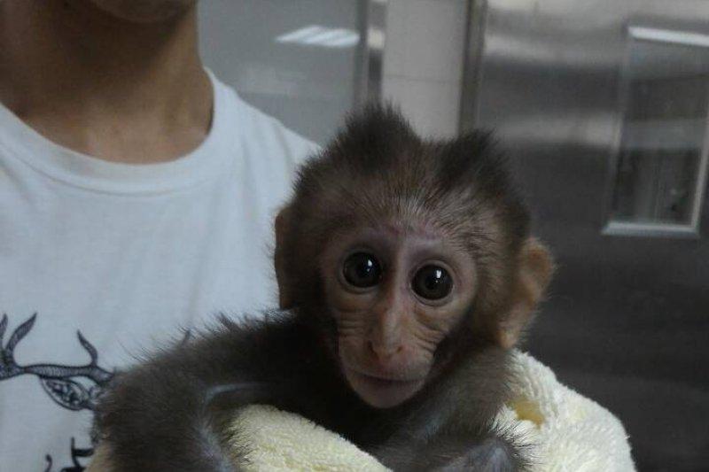 壽山地區近10隻台灣獼猴死亡案件,因短期內獼猴陸續異常死亡,死因疑不單純。圖為被搶救存活的柴山小獼猴。(高市農業局提供)