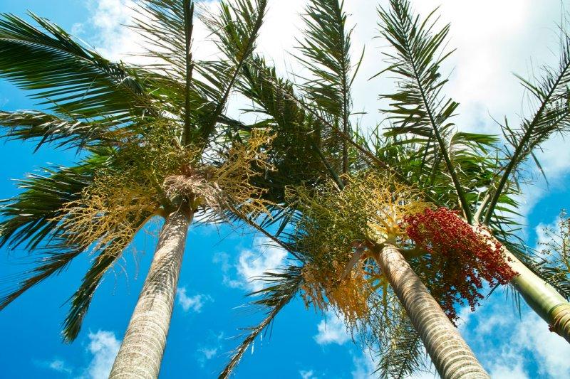 現代詩人以紀弦最愛檳榔樹了,不但詩集多以檳榔樹為名,也自喻為檳榔樹,可能是他長得又高又瘦...(圖/llee_wu@flickr)