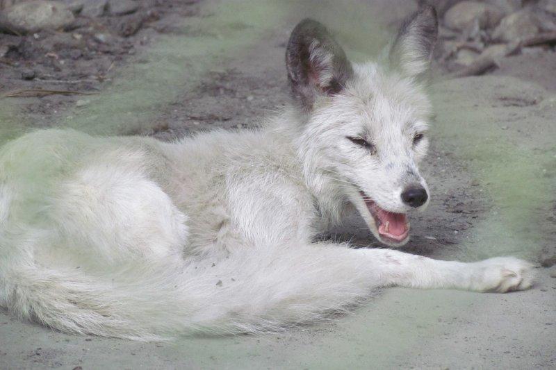 台灣動物社會研究會指出,兆豐農場北極狐熱到躺在光凸凸的水泥地上,張口喘氣、奄奄一息。展場環境惡劣髒亂,滿布廢棄木材、糞便與垃圾,飼料丟在地上與糞便、砂土混在ㄧ起。(取自台灣動物社會研究會)
