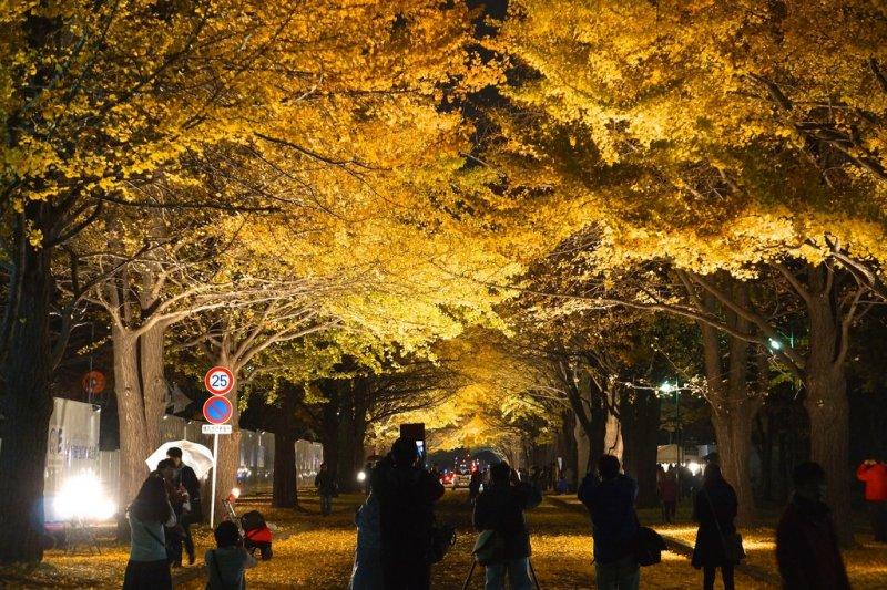 北海道大學夜間銀杏林,充滿浪漫氛圍。(圖/Kentaro Ohno@flickr)
