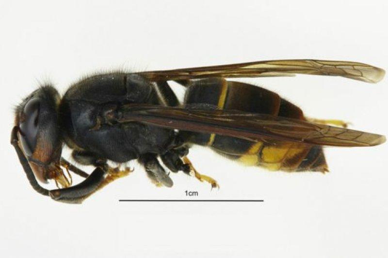 專家們確認,首次在英國看到他們「嚴陣以待」的一種來自亞洲、殺死蜜蜂的亞洲大黃蜂。(BBC中文網)