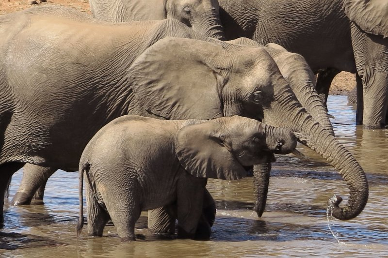 非洲象。(美聯社)