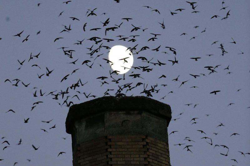 鳥類滿天飛翔,為什麼不會相撞?(AP)