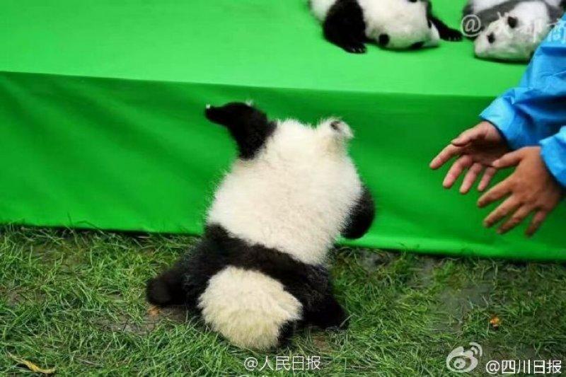 中國四川省「成都大熊貓繁育研究基地」29日展示今年繁育成活的23隻大貓熊寶寶(微博)