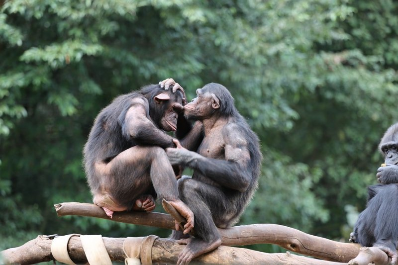 為何頭領無法忍受其他雄黑猩猩性交?為何雄黑猩猩就是要彼此干涉?(示意圖/joelfotos@pixabay)
