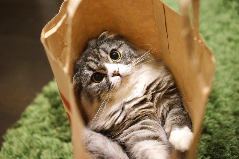 蘇格蘭摺耳貓的可愛模樣令人著迷,但若要飼養,得注意這些事情...(圖/hira@pakutaso)