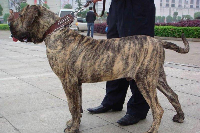 巴西菲勒犬。(圖取自網路)