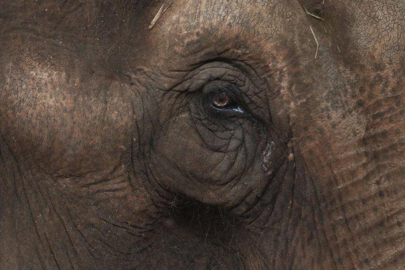 把一生都奉獻給馬戲團的大象瑪雅(Maia),現在只想好好的在「大象庇護所」內安養天年。(AP)