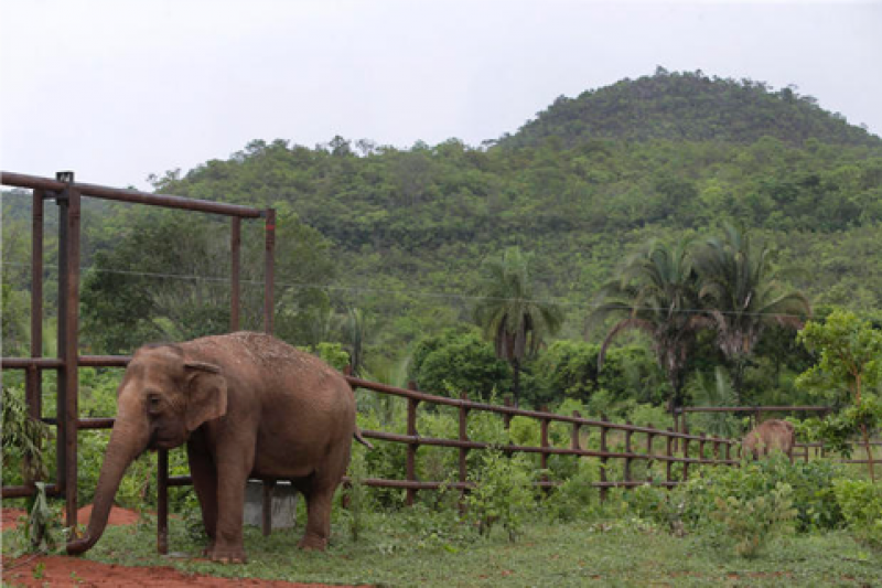 巴西第一座「大象庇護所」,全區佔地11.34平方公里,東西邊各有2座溪谷,中間有一座小山,水源充足,讓大象可以自由的穿梭其中。(AP)