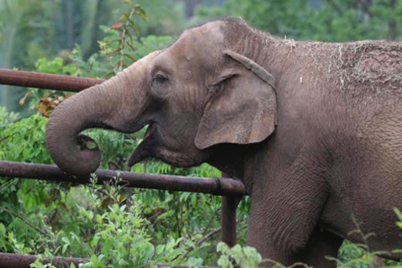來自亞洲的大象吉達(Guida)正開心的進食,在巴西的「大象庇護所」是全南美洲第一座,於12日起開放給退休大象們好好生活。(AP)
