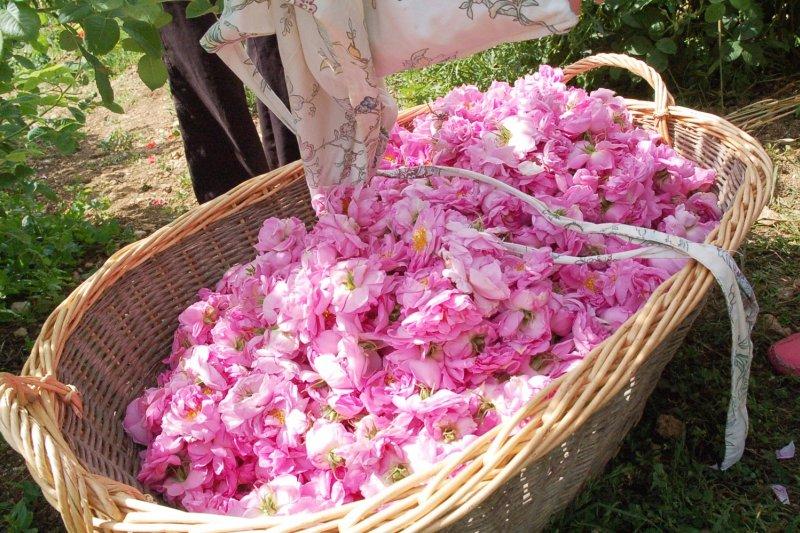 這些採了一早上的花瓣,可以做出來的精油少且昂貴...(圖/作者提供)