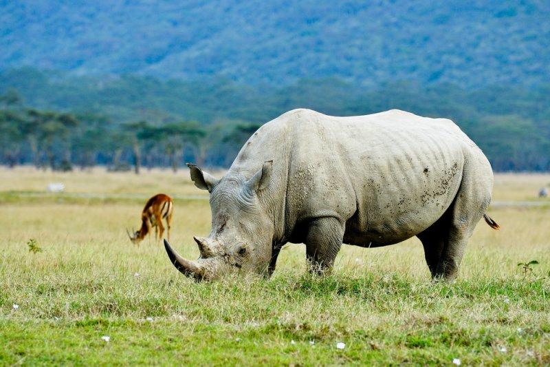 犀牛也名列瀕滅絕名單之一。(圖/li yong@flickr)