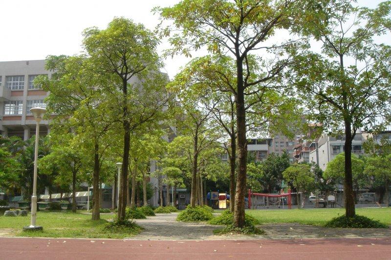 校園裡的黑板樹(實踐國小)