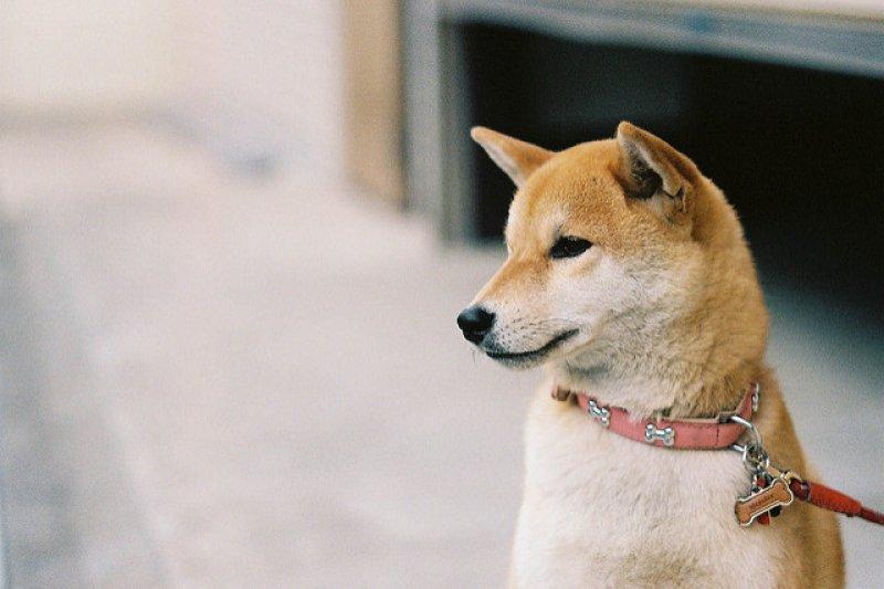 柴犬呆萌模樣,擄獲不少人的心。(圖/yamauchi@flickr)