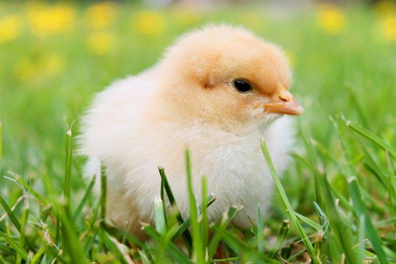 食品工廠的小雞,牠們眼中的世界是什麼樣子?(圖/onefox@pixabay)