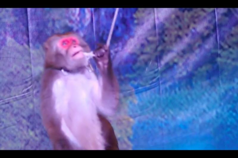 動保團體指控業者透過逼迫日本雪猴展演,不法獲利上億元,政府卻未積極處理。(取自台灣動物社會研究會)