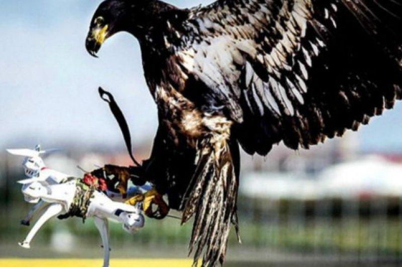 老鷹能夠幫助警方阻截無人機。(BBC中文網)