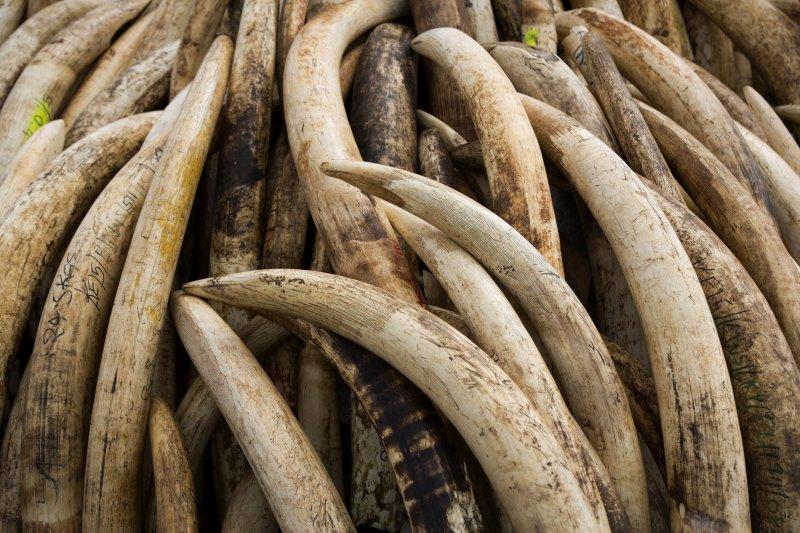 民進黨立委黃偉哲29日召開記者會表示,近日來接到關懷生命協會與WildAid野生救援的陳情指出,目前雖有相關法令禁止象牙買賣,但法令本身卻有很多漏洞。圖為肯亞的象牙交易。(資料照,美聯社)