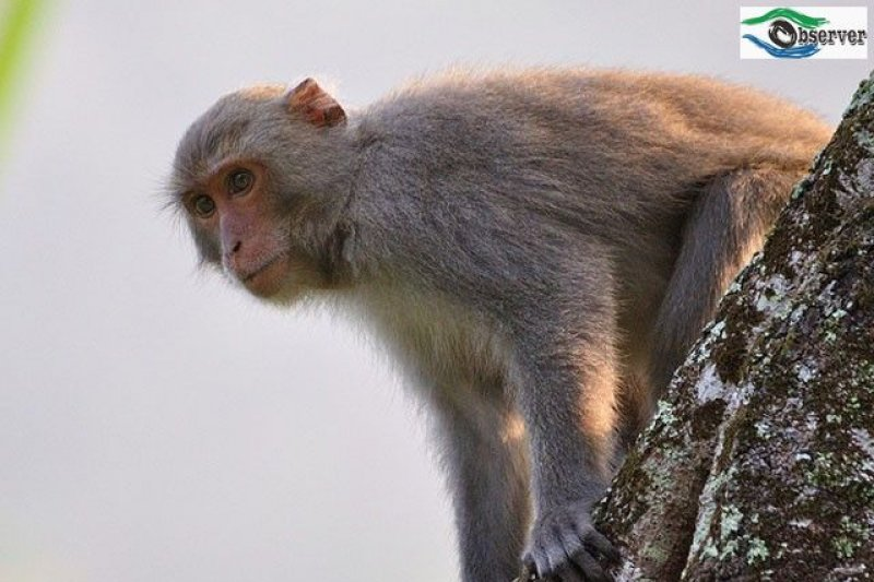 台灣獼猴。(取自經濟部水利署)