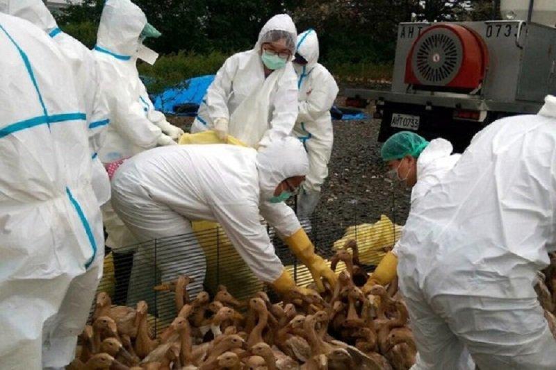 誰還記得禽流感?(資料照,取自嘉義縣家畜所ˍ)