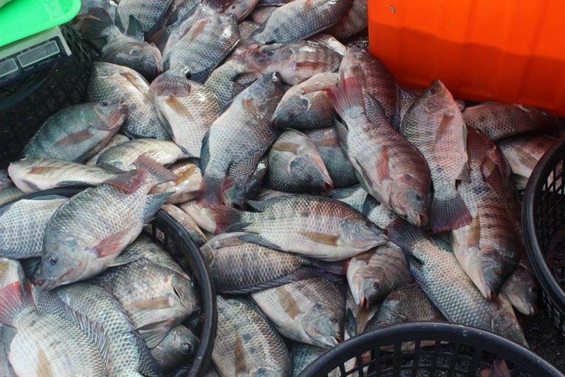 台灣鯛(改良型吳郭魚)不做價格與數量上的競爭,透過精緻化提生產業產值。(取自台灣鯛協會)